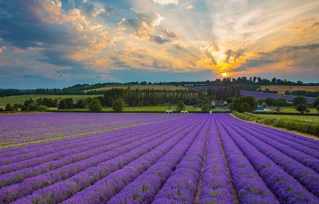 Inghilterra: visita questi splendidi campi di lavanda aperti ai turisti